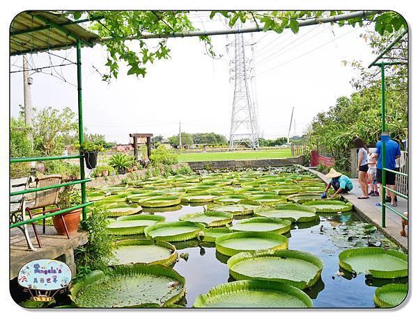 康莊農園(大王蓮)032.jpg