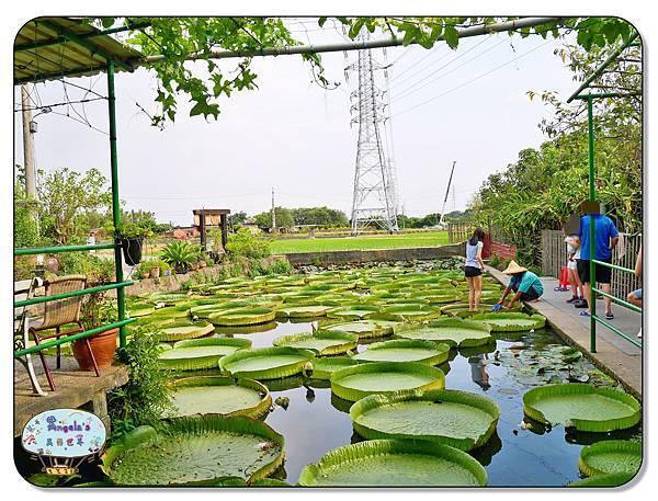 康莊農園(大王蓮)033.jpg