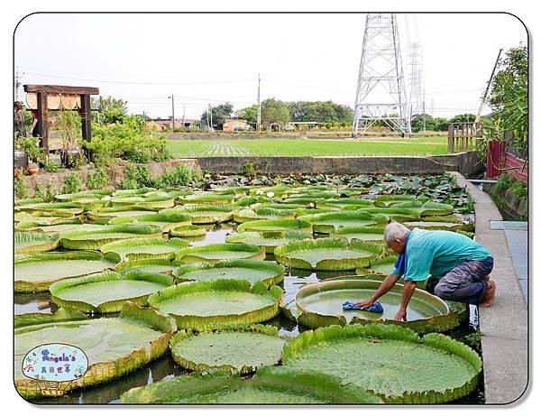 康莊農園(大王蓮)034.jpg