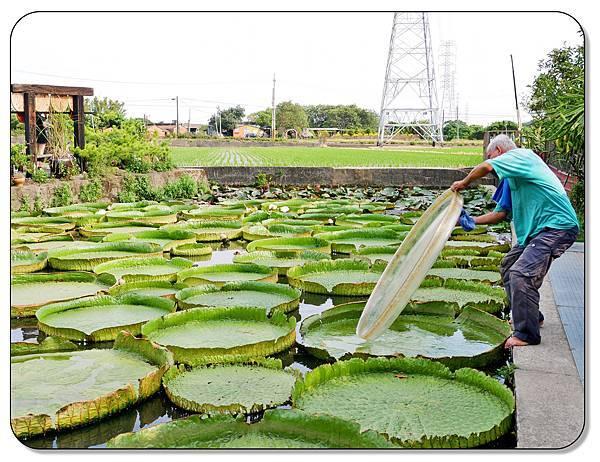 康莊農園(大王蓮)035.jpg