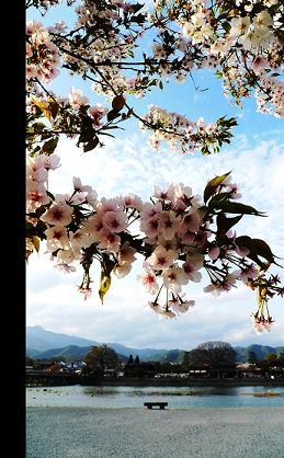 嵐山櫻.jpg