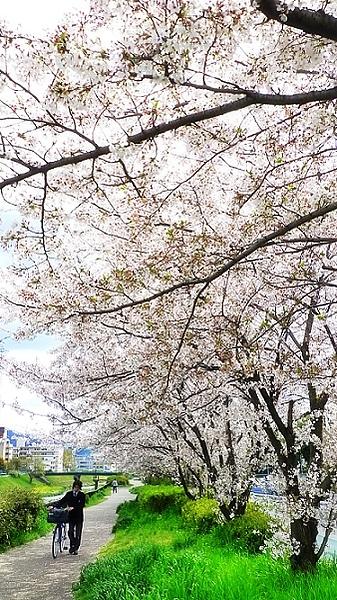 櫻花雨.jpg