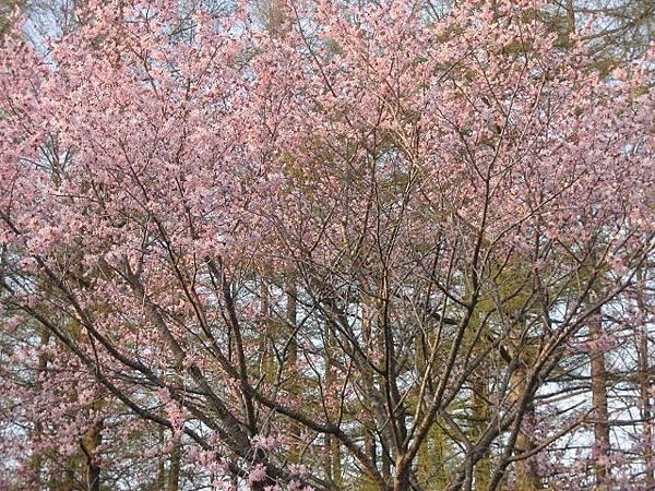十勝幕別溫泉飯店前的櫻花樹(2).jpg