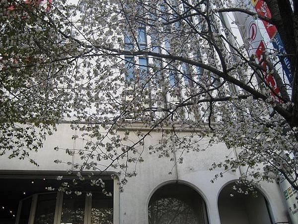 第一天-札幌手藝店前的櫻花樹.jpg