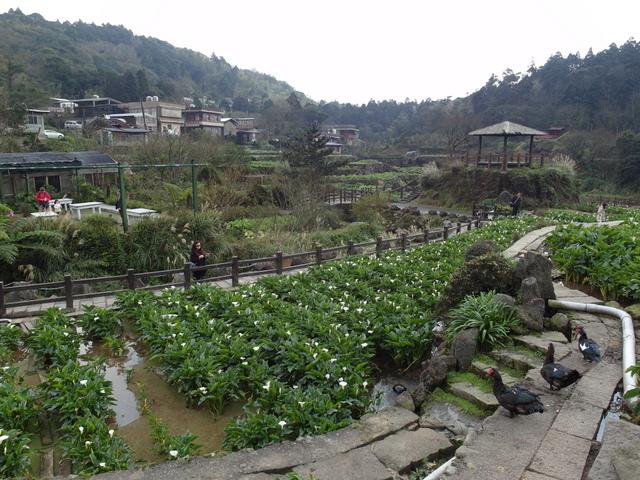 竹子湖  (39).JPG