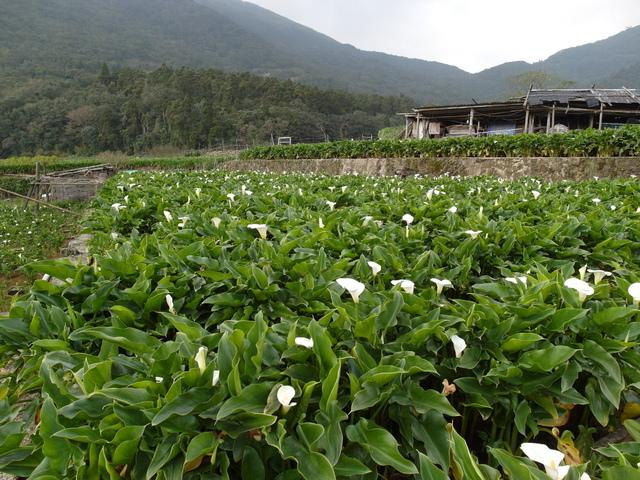 竹子湖  (41).JPG