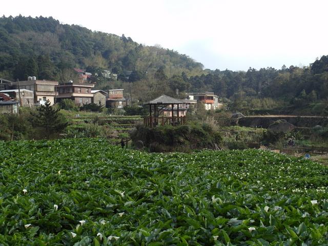 竹子湖  (62).JPG