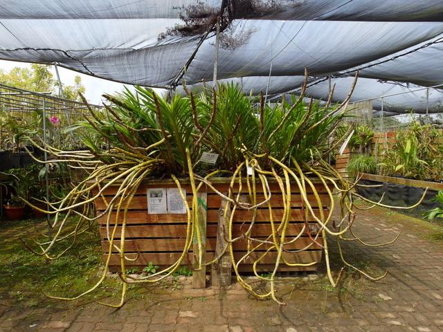 蘭科植物園  (16).JPG