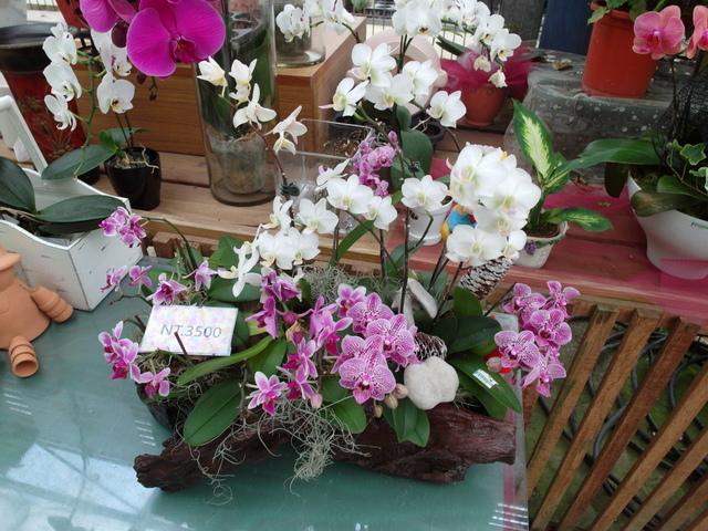蘭科植物園  (51).JPG