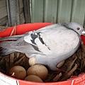 雞婆的鴿子