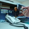 2010-03-15-虎頭蜂2.jpg