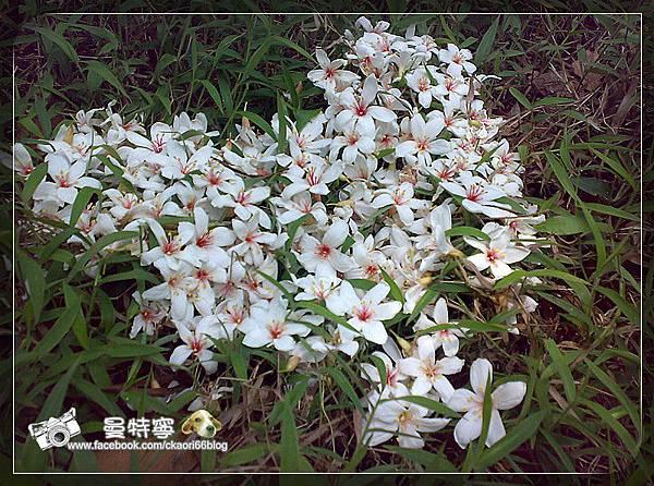 四月雪小徑油桐花