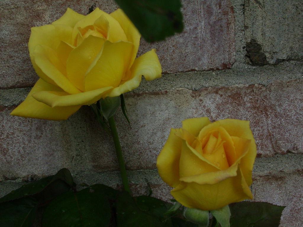 最愛的2朵黃玫瑰