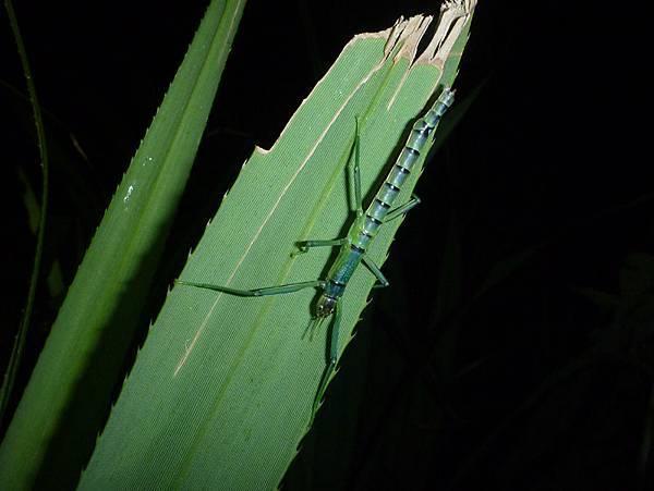 竹節蟲.jpg