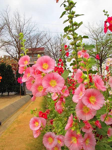 學甲蜀葵花_181207_0041.jpg