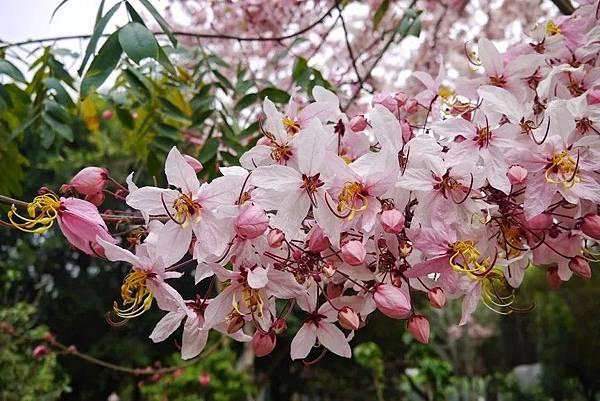 六龜天台山-桃紅陣雨樹_190105_0007.jpg
