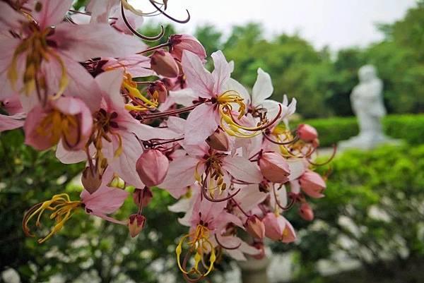 六龜天台山-桃紅陣雨樹_190105_0010.jpg