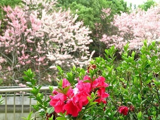 六龜天台山-桃紅陣雨樹_190105_0015.jpg