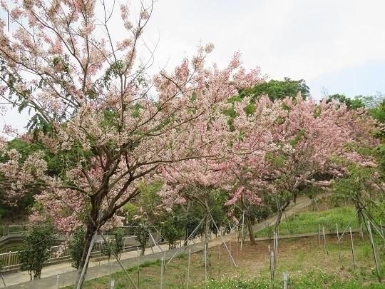 六龜天台山-桃紅陣雨樹_190105_0020.jpg