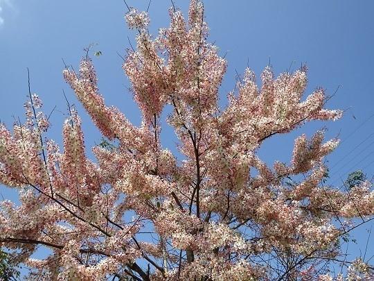 六龜天台山-桃紅陣雨樹_190105_0031.jpg