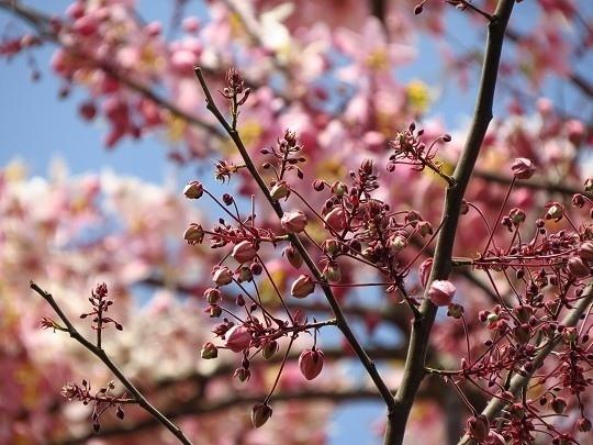 六龜天台山-桃紅陣雨樹_190105_0033.jpg