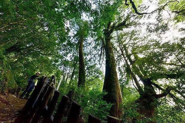 拉拉山巨木_190509_0022.jpg