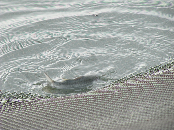 漁獲─豆仔魚.JPG