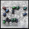 183藍豔白點花金龜成蟲1