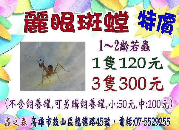麗眼螳螂0901