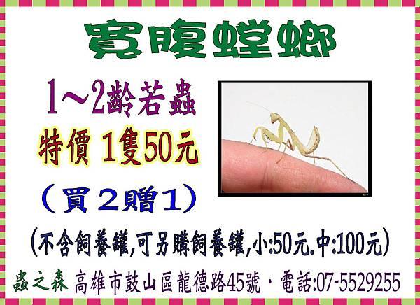 寬腹螳螂(買2贈1)