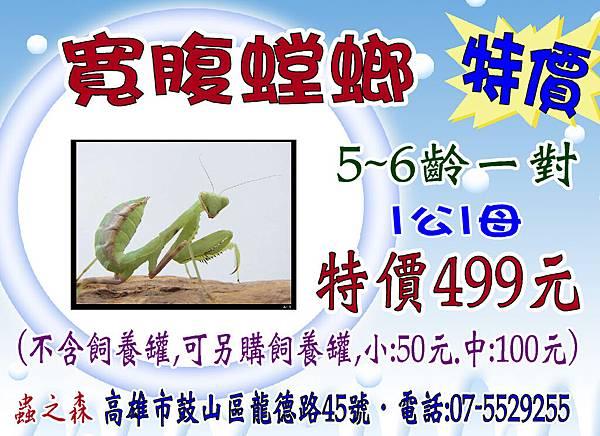 寬腹螳螂-499