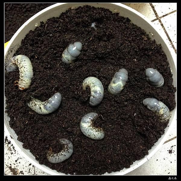 19 獨角仙幼蟲