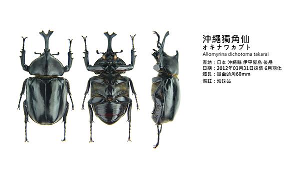 Allomyrina dichotoma takarai .png