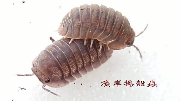 濱岸捲殼蟲.jpg