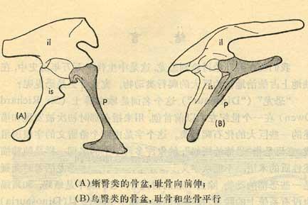 蜥臀類與鳥豚類腰帶區分