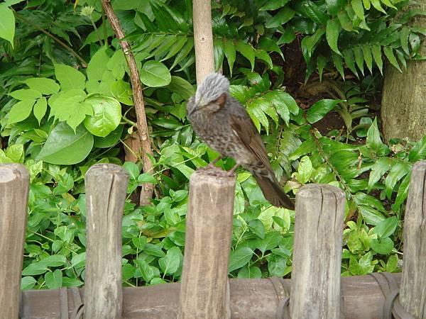 鳥(本來牠在樹上,看到我拍他,還故意飛下來給我拍)