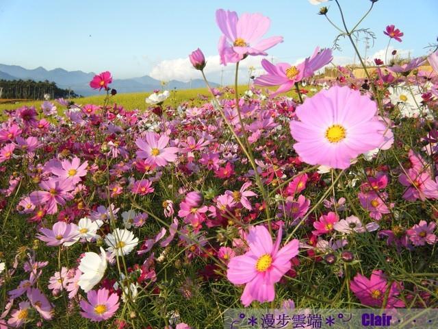 6.南投花卉嘉年華-波斯菊.jpg