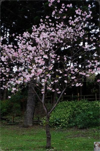 中正紀念堂:[城市櫻花趣]台北 中正紀念堂~櫻花大道這裡也有(三種櫻花綻放)