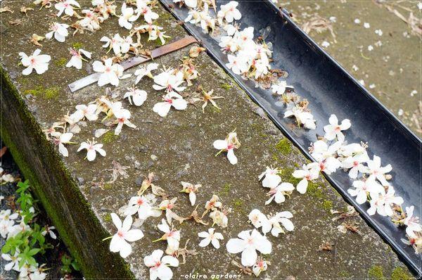 挑水古道:彰化 挑水古道~原來賞花可以不用長途跋涉