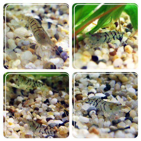 虎紋蝦.jpg
