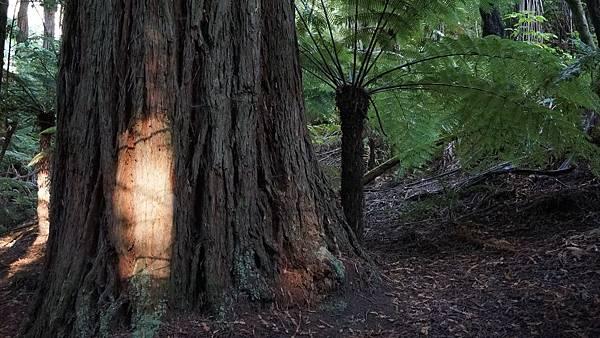 DSC07050.紅木森林公園