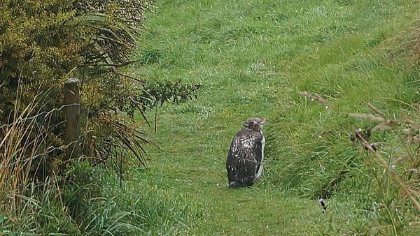 DSC07637.黃眼企鵝保護區