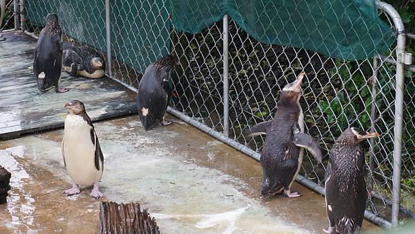 DSC07655.黃眼企鵝保護區