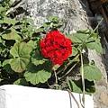 1585.陽光下的紅花特別的嬌豔