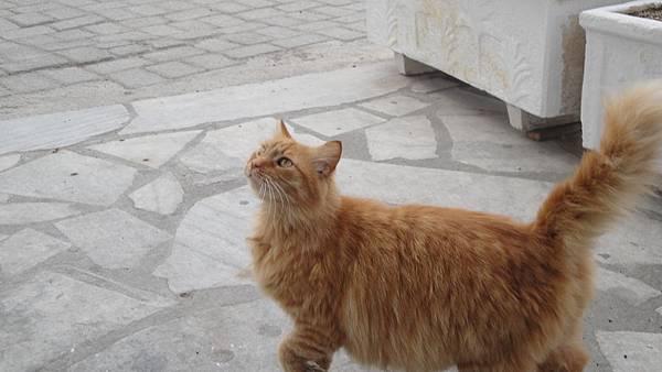 2215.Kamari Beach (黑海灘)-加菲貓出現啦  這隻貓真的只有圓滾滾3個字可以形容
