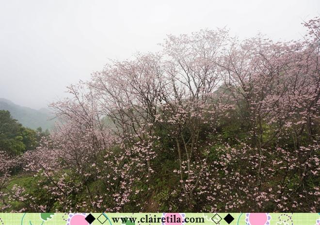 天明宮賞櫻 (21).JPG