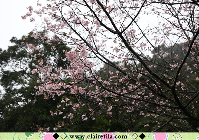 天明宮賞櫻 (26).JPG
