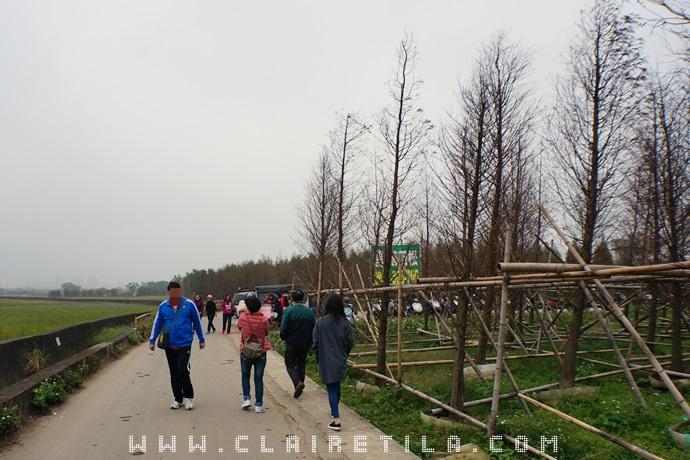 落羽松 紅藜 (4).JPG