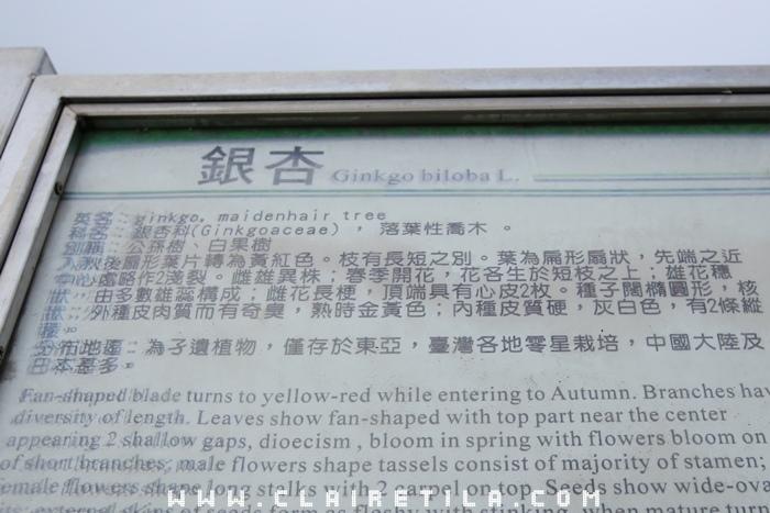 大崙山銀杏林步道 (7).JPG