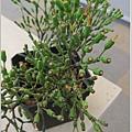 猿戀韋 多肉植物